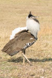 MWC-Birds Kori Busdard male