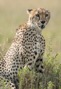 MWC-Cheetah