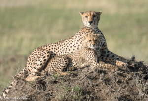 MWC-Cheetah Mother and child