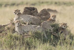 MWC-Cheetah family