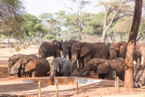 MWC-Elephants drinking from lodge pool
