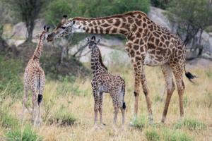 MWC-Giraffe family