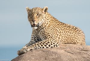 MWC-Leopard Prince