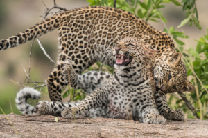 MWC-Leopard cubs playing