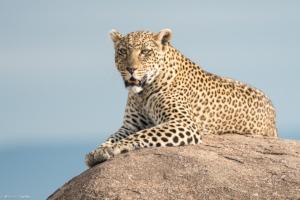 MWC-Leopard on rock
