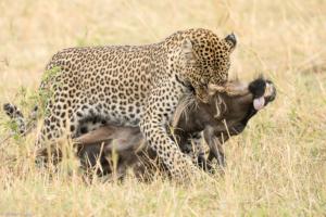 MWC-Leopard with kill