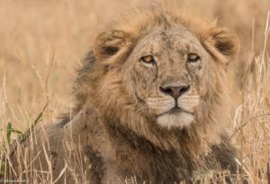 MWC-Lion King