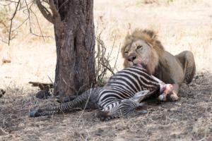 MWC-Lion kill