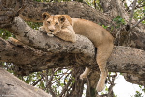 MWC-Lioness resting after the hunt