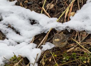 Judie-yellow rumped warbler- (15 of 1)