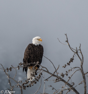 Judie Dunn-GT&Y bald eagle