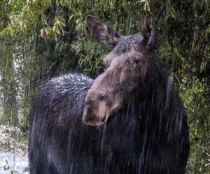 Judie snowy moose