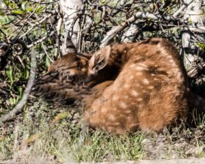 MC-11 Baby Elk