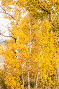 Andy Phan-Aspen Trees  1