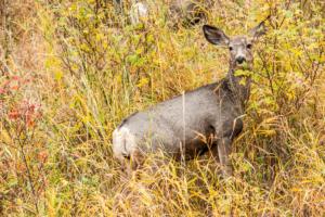 Andy Phan-Baby Elk