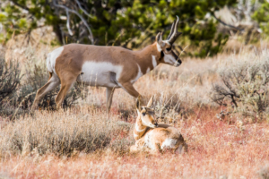 Andy Phan-Baby Pronghorn 4