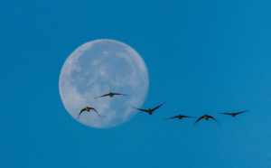 Andy Phan-Canadian Gooses flight in the moon