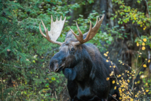 Andy Phan-Moose Portrait 1