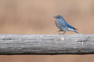 Andrew Palmer-Bluebird Twostep (1 of 1)
