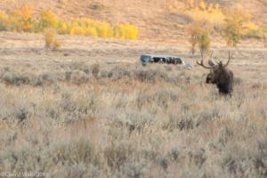Cheryl Walls-Bull Moose 1