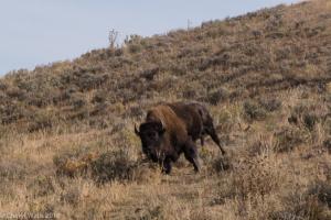 Cheryl Walls-Drunk bison