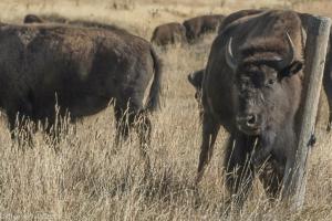 Cheryl Walls-bison 2