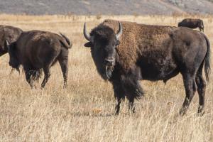 Cheryl Walls-bison 3