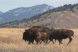 Cheryl Walls-bison group w calf