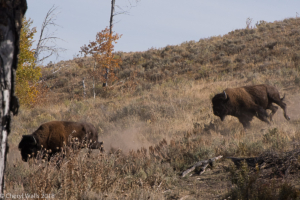 Cheryl Walls-running bison