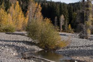 Cheryl Walls-trees near stony river