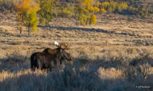 Jeff Bushnell-Autumn Moose