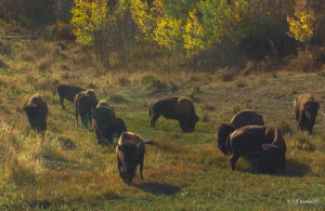 Jeff Bushnell-Golden Bison