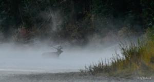Jeff Bushnell-Misty Morning Elk