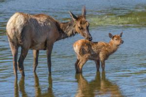 Elk Mother & Calf