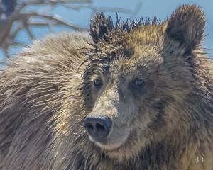 Grizzly Portrait DxO