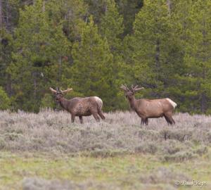 PR 2 Bull Elk