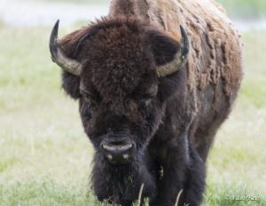 PR Bison Bull