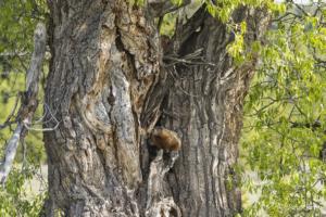 PR Marmot in a Tree