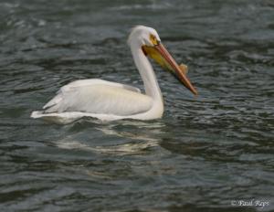 PR Pelican