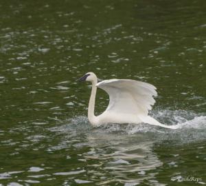PR Swan 1