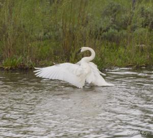 PR Swan 2