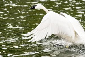 LR-Swan4