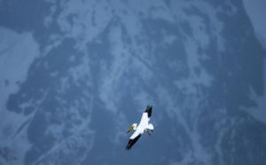 LR-flying pelican
