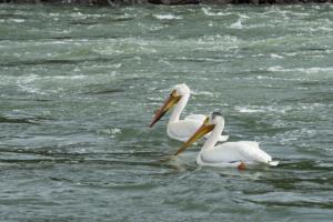 LR-pelicans