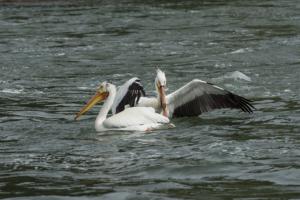 LR-pelicans2