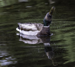 WH-Too Wet Even for a Duck