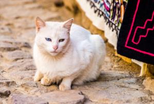 008-Peru white cat