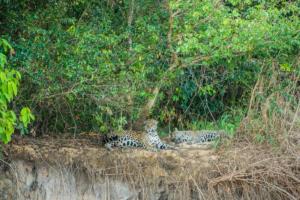 024-Couple Jaguar relaxing
