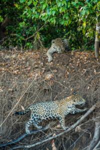027-Jaguar get lost