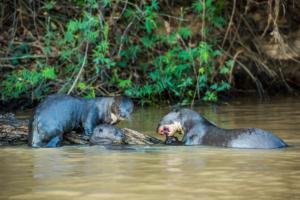 028-Giant Otter family having breakfast